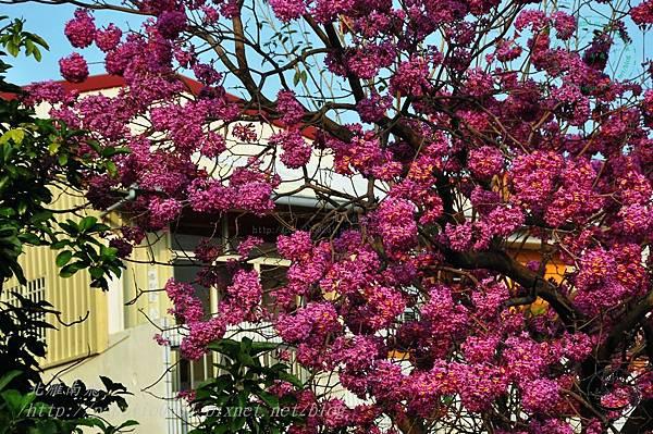 15洋紅風鈴木(Tabebuia rosea ).JPG