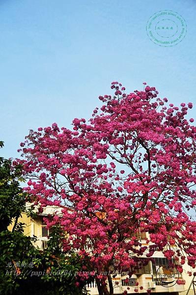 16洋紅風鈴木(Tabebuia rosea ).JPG