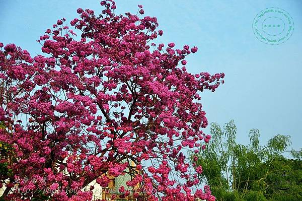 17洋紅風鈴木(Tabebuia rosea ).JPG