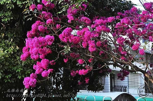 18洋紅風鈴木(Tabebuia rosea ).JPG