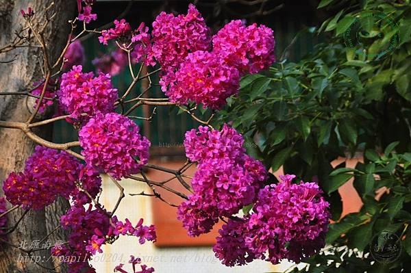 19洋紅風鈴木(Tabebuia rosea ).JPG