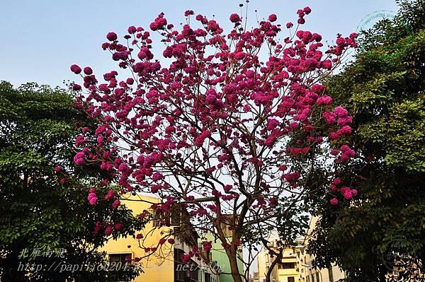 24洋紅風鈴木(Tabebuia rosea ).JPG