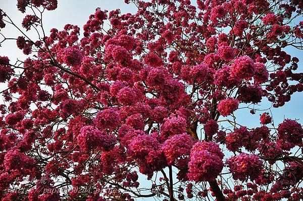 28洋紅風鈴木(Tabebuia rosea ).JPG