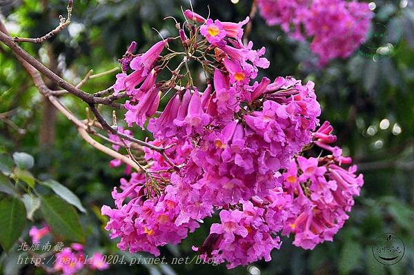 31洋紅風鈴木(Tabebuia rosea ).JPG