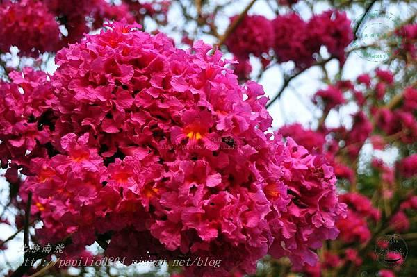 32洋紅風鈴木(Tabebuia rosea ).JPG