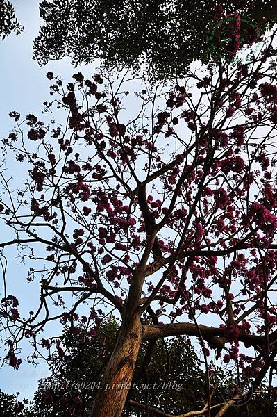35洋紅風鈴木(Tabebuia rosea ).JPG