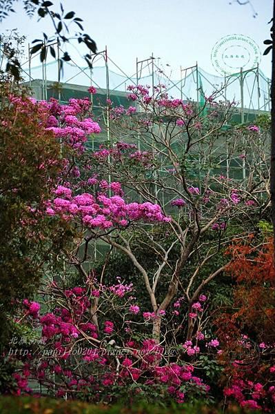 36洋紅風鈴木(Tabebuia rosea ).JPG