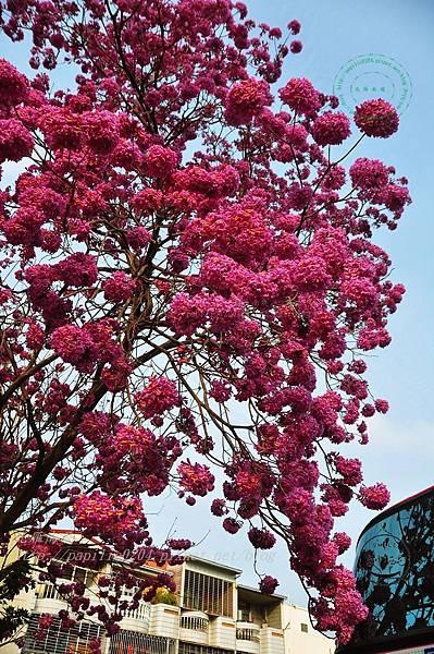a02洋紅風鈴木(Tabebuia rosea ).JPG