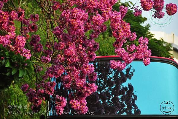 a07洋紅風鈴木(Tabebuia rosea ).JPG