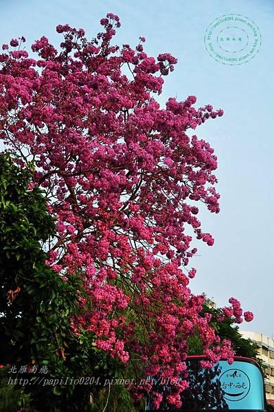 a08洋紅風鈴木(Tabebuia rosea ).JPG