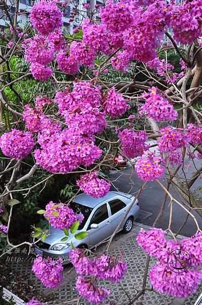 c01洋紅風鈴木(Tabebuia rosea ).JPG