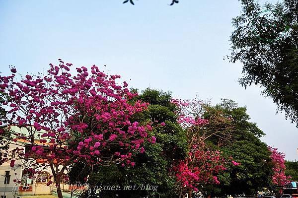 r03洋紅風鈴木(Tabebuia rosea ).JPG