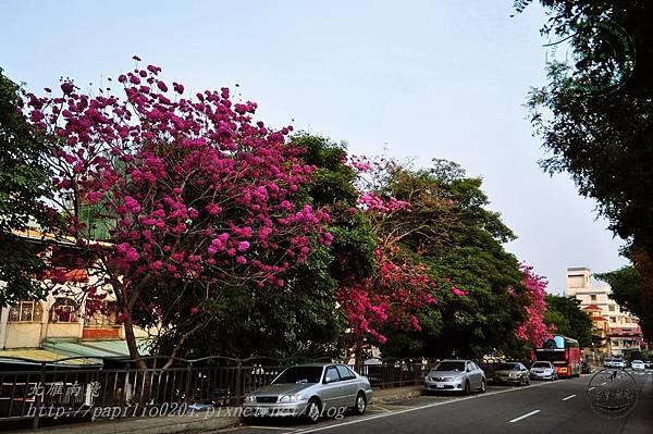 r04洋紅風鈴木(Tabebuia rosea ).JPG