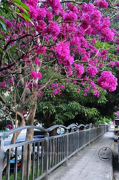 r05洋紅風鈴木(Tabebuia rosea ).JPG