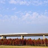 國道六號(水沙連高速公路)沿線落羽松