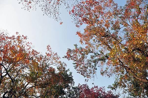 19台中梅川園道烏桕變色葉.JPG