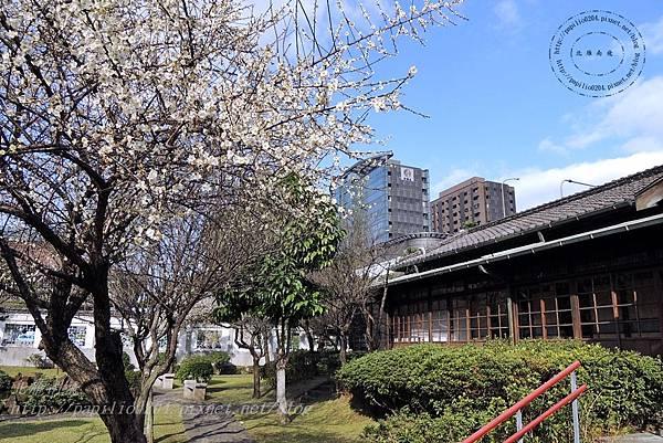 15國父史蹟紀念館旁的梅花.JPG