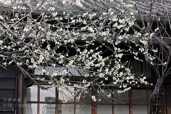 18國父史蹟紀念館旁的梅花.JPG