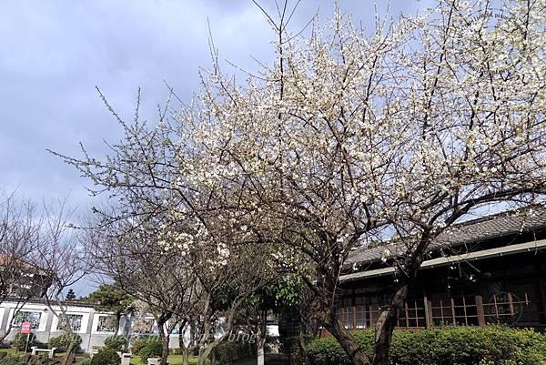 21國父史蹟紀念館旁的梅花.JPG