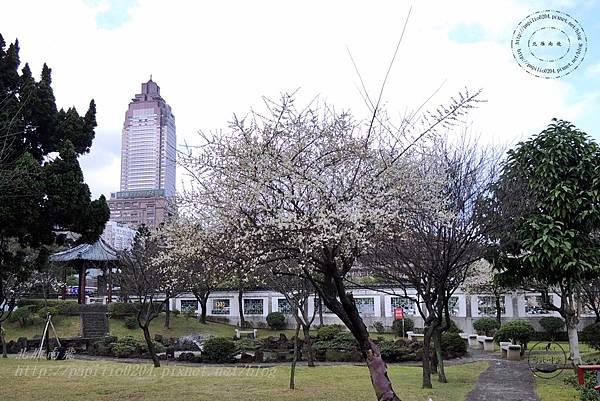 25逸仙公園中盛開的梅花.JPG