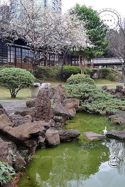 31逸仙公園水池旁盛開的梅花.JPG
