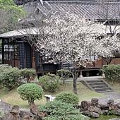 37逸仙公園水池旁盛開的梅花..JPG
