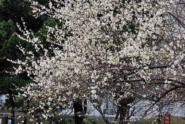 41逸仙公園盛開的梅花.JPG