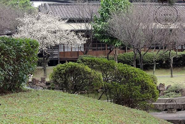 47逸仙公園盛開的梅花.JPG