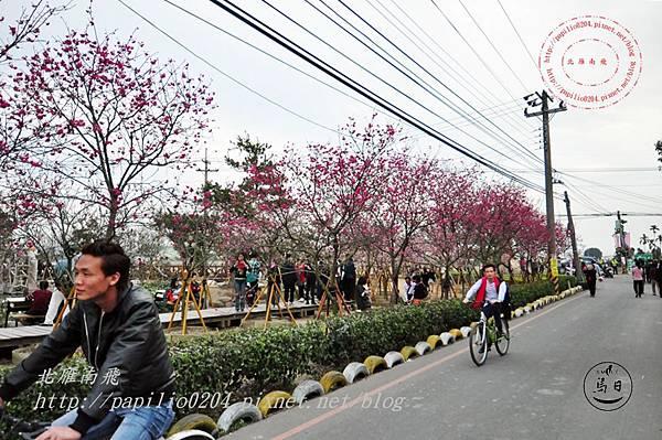 02員農種苗芬園花卉生產休憩園區慶光路旁八重櫻.JPG