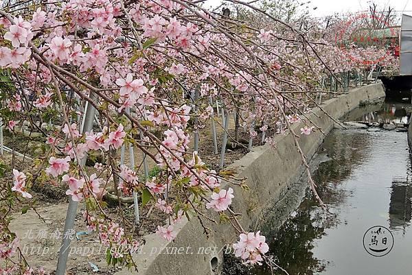 05員農種苗芬園花卉生產休憩園區慶光路旁河津櫻.JPG