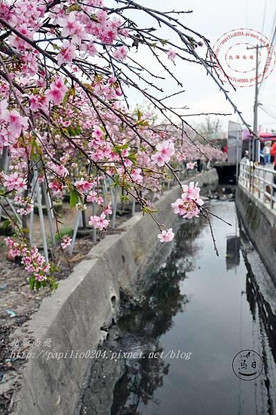 04員農種苗芬園花卉生產休憩園區慶光路旁河津櫻.JPG