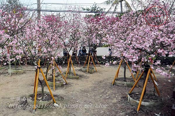 07員農種苗芬園花卉生產休憩園區河津櫻.JPG