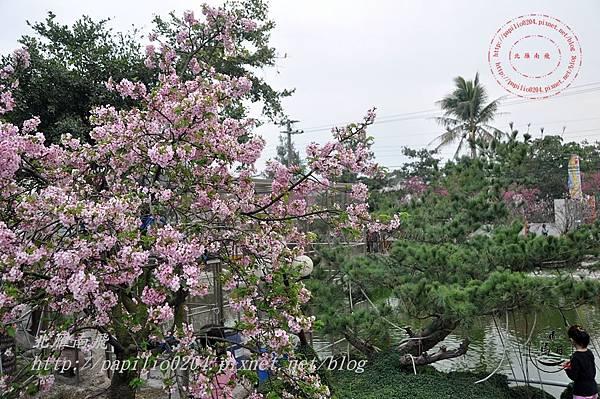 08員農種苗芬園花卉生產休憩園區河津櫻.JPG