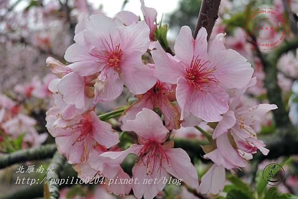 12員農種苗芬園花卉生產休憩園區櫻花.JPG