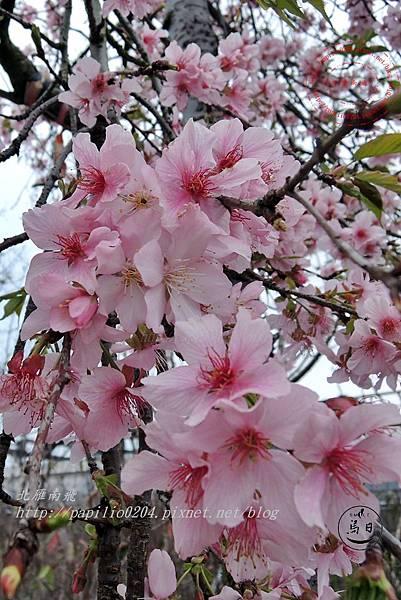 14員農種苗芬園花卉生產休憩園區櫻花.JPG