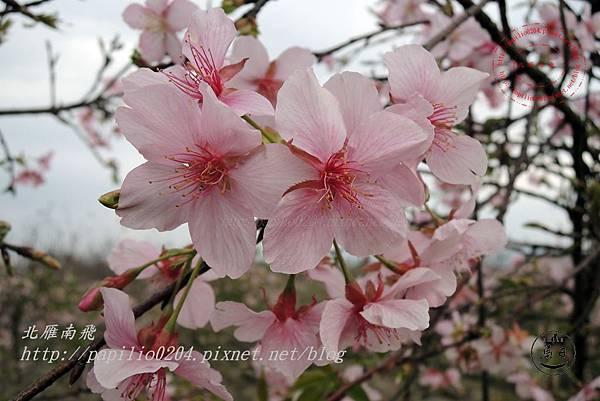 13員農種苗芬園花卉生產休憩園區櫻花.JPG