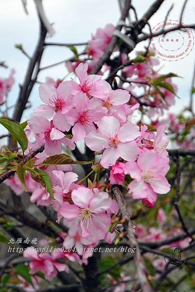 15員農種苗芬園花卉生產休憩園區櫻花.JPG