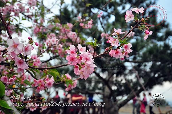 16員農種苗芬園花卉生產休憩園區河津櫻.JPG