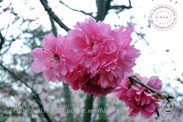18員農種苗芬園花卉生產休憩園區八重櫻.JPG