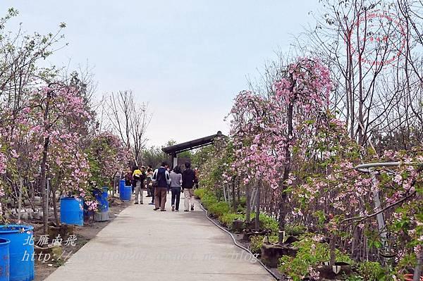23員農種苗芬園花卉生產休憩園區州府枝垂櫻.JPG
