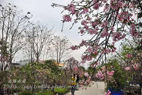 24員農種苗芬園花卉生產休憩園區州府枝垂櫻.JPG