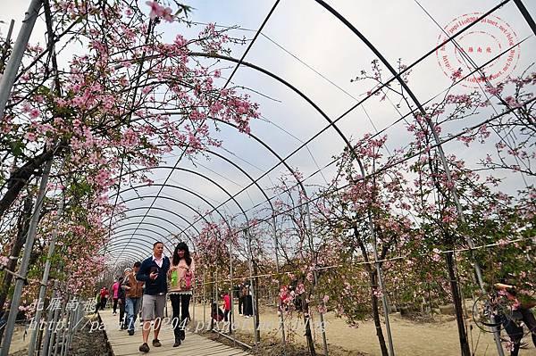 28員農種苗芬園花卉生產休憩園區櫻花隧道.JPG