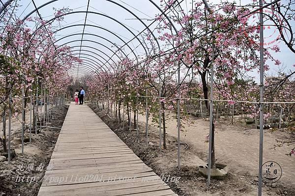 29員農種苗芬園花卉生產休憩園區櫻花隧道.JPG