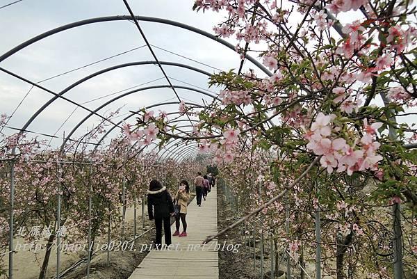 30員農種苗芬園花卉生產休憩園區櫻花隧道.JPG