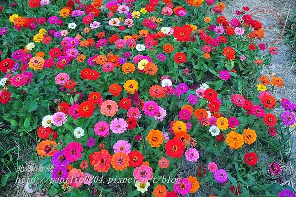 31員農種苗芬園花卉生產休憩園區週邊百日草花海.JPG