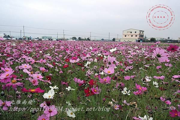 32員農種苗芬園花卉生產休憩園區週邊大波斯菊花海.JPG