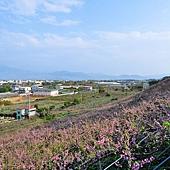 30新社129縣道桃花.JPG