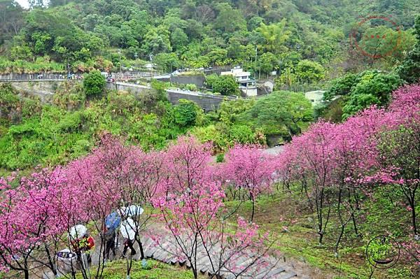 15 2014大坑濁水巷櫻花林.JPG