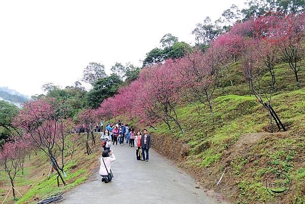 30 2014大坑濁水巷櫻花林.JPG