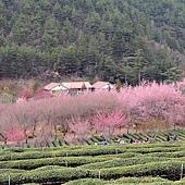 70 2014武陵農場賞櫻-茶園.JPG